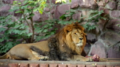 A satisfied Asian lion, full size view, lying on the wood platform Stock Footage