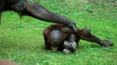 An orangutan mother led away her grazing kid very brusque. Stock Footage