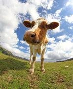 Great cow  photographed with a fisheye lens Stock Photos