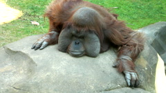 An orangutan male, chief of the monkey family, Stock Footage
