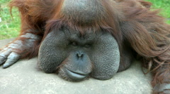 An orangutan male, looking around and making faces. Stock Footage