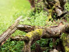 fallen tree overgrown with moss - stock photo
