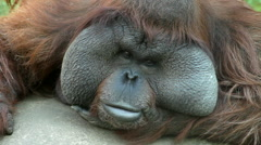 An orangutan male, chief of the monkey family, looking around. Stock Footage