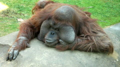 An orangutan male, lying on his boulder throne with his head on the hand Stock Footage