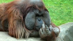 An orangutan male, lying on his boulder throne with his head on the arm Stock Footage