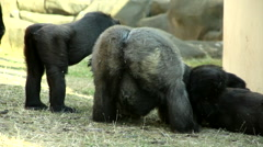 A grazing gorilla male, severe silverback, back view. Stock Footage