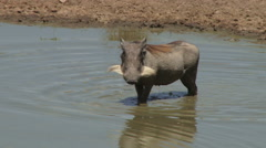 a warthog wadding through dirty water - stock footage