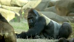 A chewing gorilla male, severe silverback, side view, lying on his belly. Stock Footage