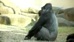 Stock Video Footage of A grazing gorilla male, severe silverback. A mighty chief of the primate family,