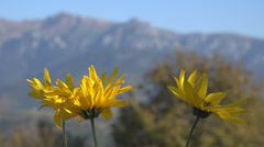 Beautiful yellow blossom flower mountain resort sunny day peaceful place bloom  Stock Footage