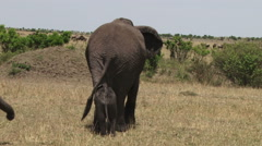 Baby elephant following mother from behind Stock Footage