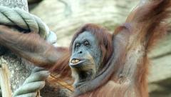 A mature orangutan female, savoring some nuts. Stock Footage