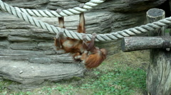 Stock Video Footage of Careless childhood of the two orangutan brothers on the thick ropes.