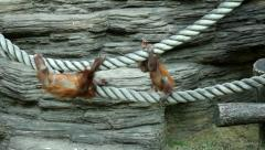Hanging childhood of the two orangutan brothers on the thick ropes. Stock Footage