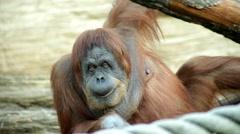 A mature orangutan female, savoring something. Long eye contact Stock Footage