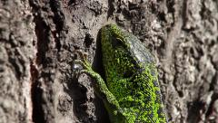 Sand Lizard head, close, Lacerta agilis Stock Footage