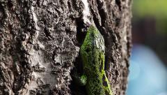 Sand Lizard on a tree rind, Lacerta agilis Stock Footage