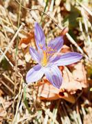 colchicum autumnale flower close up - stock photo