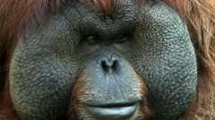 The face with excellent cheeks close up of an orangutan male Stock Footage