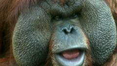 The face with fly on excellent cheek close up of an orangutan male. Stock Footage
