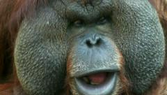 Fight of an orangutan male, against a fly, sitting on his excellent cheek. Stock Footage
