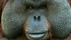 Shifty eyes of an orangutan male, chief of a monkey family. Stock Footage