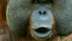 Eye contact with an orangutan male, chief of a monkey family, making faces. Stock Footage