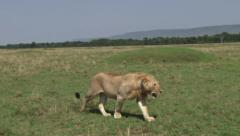 A young male lion walking in the plains Stock Footage