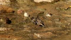 Some thrushes, Turdus, and sparrows, Passer, are having a bath in sunlit pool. Stock Footage