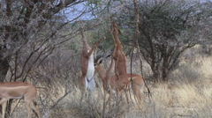 Antelopes standing on two legs to feed Stock Footage