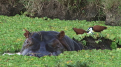 African jacana on the head of a hippopotamus Stock Footage