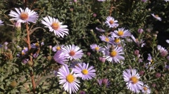 Aster flower And Bees - stock footage