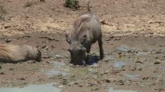 A warthog digs up dirt and sleeps in it Stock Footage