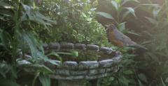 ROBIN BATHING Stock Footage