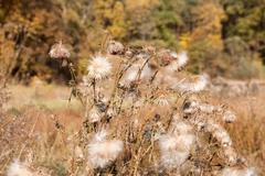 Autumn Great Burdock Stock Photos