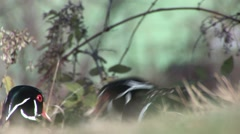 Wood Duck Drake Adult Closeup Stock Footage