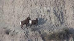 Bighorn Sheep Ram Ewe Adult Breeding Fall Mating Copulation - stock footage
