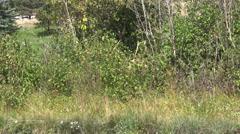 Bull  Elk Raking antlers in Rut - stock footage
