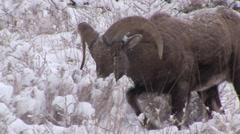 Bighorn Sheep Ram Adult Lone Feeding Fall Snow Trophy Full Curl - stock footage
