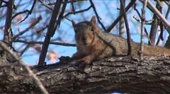 Fox Squirrel Lone Alarmed Winter Stock Footage