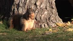 Fox Squirrel Adult Lone Feeding Fall Stock Footage