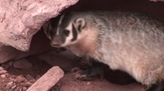 Badger Lone Stock Footage