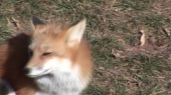 Red Fox Lone Grooming Fall Scratching Itching Closeup Stock Footage