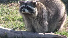 Raccoon Lone Standing Fall Stock Footage