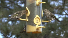 Pine Siskin Several Feeding Winter Bird Feeder Thistle Stock Footage