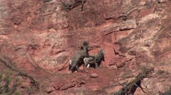 Stock Video Footage of Bighorn Sheep Ram Ewe Adult Pair Breeding Fall Copulation Mating