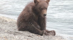 Wild brown bear Stock Footage