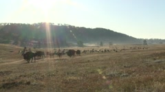 Bison Bull Cow Adult Young Herd Walking Summer Sun Flare Backlight Stock Footage