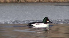 Goldeneye Male Adult Lone Swimming Winter Ice Stock Footage
