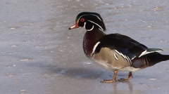 Wood Duck Drake Adult Winter Ice Stock Footage